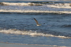 Seagull flying across water on beach. Looking for food Royalty Free Stock Images