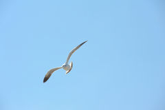 Seagull flying action Royalty Free Stock Photo