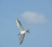 Seagull flying action Royalty Free Stock Image