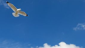 Seagull Flying Against a Beautiful Blue Sky. Day was windy and seagull was flying with his wings fully extended Royalty Free Stock Images
