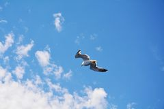 Seagull flying Royalty Free Stock Photos