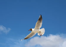 Seagull. Flying seagull against a blue sky background Stock Photo