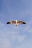 Seagull flying against blue sky Stock Photos