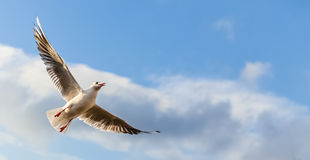 Seagull flying against blue sky Royalty Free Stock Photo