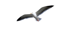 Seagull flying against the white background. Stock Image