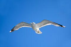 Seagull flying in the air Stock Photography
