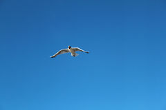 Seagull flying alone in the sky Stock Photography