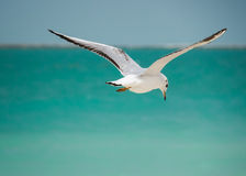 Seagull flying away Stock Images