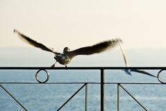 Seagull Flying Away Royalty Free Stock Image