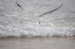 Seagull flying away from camera Royalty Free Stock Photos