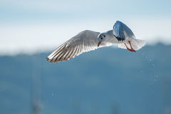 Seagull flying. In the bay Royalty Free Stock Image