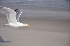 Seagull flying on beach Royalty Free Stock Images