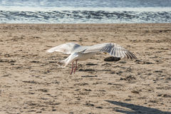 Seagull flying at beach Royalty Free Stock Images
