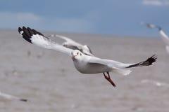 Seagull on flying. Beautiful bird, Brown headed Gull ,Seagull on flying profile. Bangpu Samuthprakharn,Thailand Stock Photo