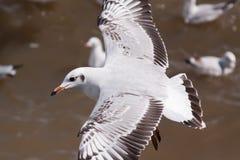 Seagull on flying. Beautiful bird, Brown headed Gull ,Seagull on flying profile. Bangpu Samuthprakharn,Thailand Royalty Free Stock Photo