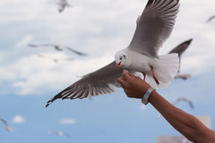 Seagull on flying Royalty Free Stock Photo