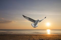 Seagull flying with beautiful sea of summer background and sunset in the evening time royalty free stock photography