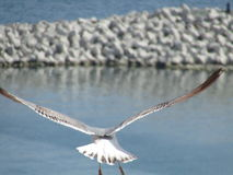 Seagull flying from behind Royalty Free Stock Photography