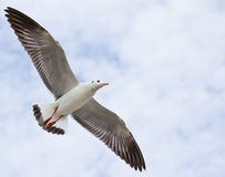 Seagull flying on the blue sky Stock Photo