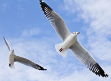 Seagull flying on the blue sky Stock Images