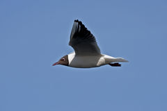 Seagull flying on the blue sky Royalty Free Stock Image
