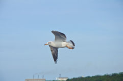 A seagull flying in the blue sky Royalty Free Stock Photography
