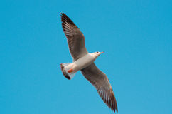 Seagull flying in the blue sky. A seagull is flying in the blue sky Stock Images