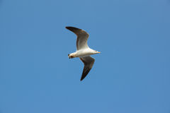 Seagull. Flying and blue sky Royalty Free Stock Image