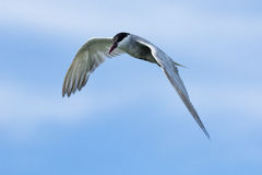 The seagull. Royalty Free Stock Image