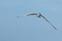 The seagull. Stock Photo