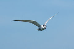 The seagull. Royalty Free Stock Photos