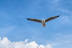 Seagull flying on blue sky Stock Image