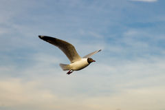 Seagull flying. On blue sky background Royalty Free Stock Photos