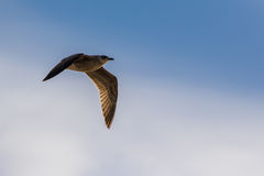 Seagull flying in a blue sky Royalty Free Stock Image