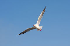 Seagull flying and blue sky Royalty Free Stock Image