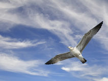 Seagull flying on blue sky with clouds background Royalty Free Stock Photo