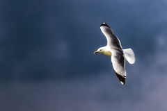 Seagull flying in blue sky Royalty Free Stock Images