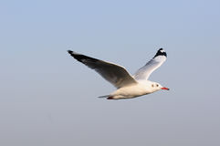 Seagull flying among blue sky and freedom concept Royalty Free Stock Photography
