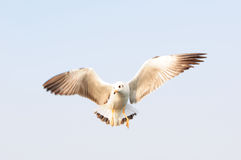 Seagull flying among blue sky, freedom concept Stock Photo