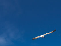 Seagull  flying and blue sky Stock Photos