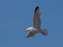 Seagull flying on the blue sky Stock Photography