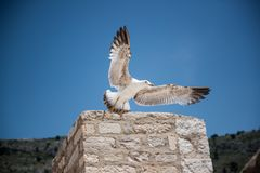 A seagull is flying in the blue sky stock photos