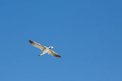 Seagull flying in blue sky. Seagull flying with open wings in a pure blue sky Stock Image