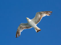 Seagull flying among blue sky Royalty Free Stock Images