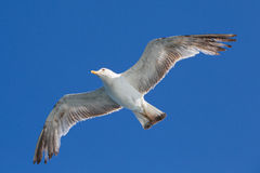 Seagull flying among blue sky Royalty Free Stock Image