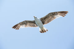 Seagull flying among blue sky Royalty Free Stock Photography
