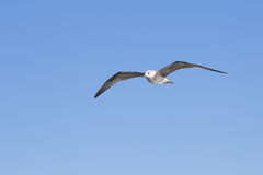 Seagull flying among blue sky Royalty Free Stock Photo