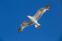 Seagull flying among blue sky Stock Images