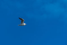 Seagull flying with blue sky and some clouds Stock Image