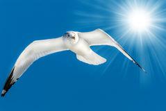 Seagull flying in blue sky with sun rays Royalty Free Stock Image
